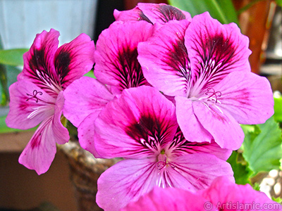 Dark pink mottled Pelargonia -Geranium- flower. <i>(Family: Geraniaceae, Species: Pelargonium)</i> <br>Photo Date: May 2006, Location: Turkey/Istanbul-Mother`s Flowers, By: Artislamic.com