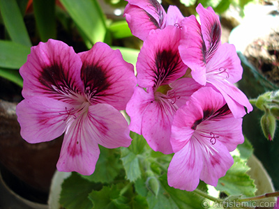 Dark pink mottled Pelargonia -Geranium- flower.