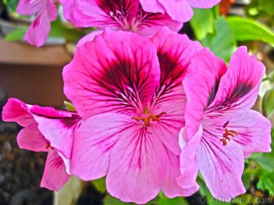 Dark pink mottled Pelargonia -Geranium- flower. <i>(Family: Geraniaceae, Species: Pelargonium)</i> <br>Photo Date: May 2006, Location: Turkey/Istanbul-Mother`s Flowers, By: Artislamic.com