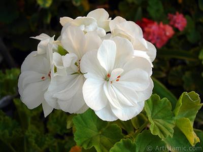 White color Pelargonia -Geranium- flower. <i>(Family: Geraniaceae, Species: Pelargonium)</i> <br>Photo Date: September 2006, Location: Turkey/Istanbul-Mother`s Flowers, By: Artislamic.com