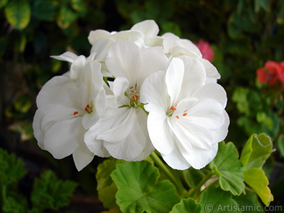 White color Pelargonia -Geranium- flower. <i>(Family: Geraniaceae, Species: Pelargonium)</i> <br>Photo Date: September 2006, Location: Turkey/Istanbul-Mother`s Flowers, By: Artislamic.com
