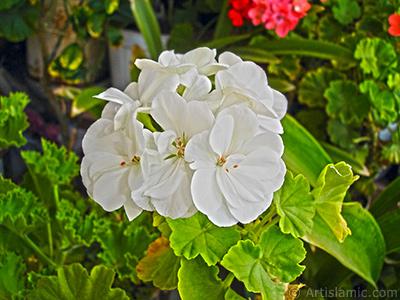 Beyaz sardunya çiçeği resmi. <i>(Ailesi: Geraniaceae, Türü: Pelargonium)</i> <br>Çekim Tarihi: Eylül 2006, Yer: İstanbul-Annemin Çiçekleri, Fotoğraf: islamiSanat.net