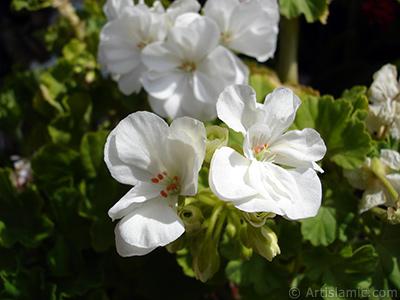 White color Pelargonia -Geranium- flower. <i>(Family: Geraniaceae, Species: Pelargonium)</i> <br>Photo Date: August 2006, Location: Turkey/Istanbul-Mother`s Flowers, By: Artislamic.com
