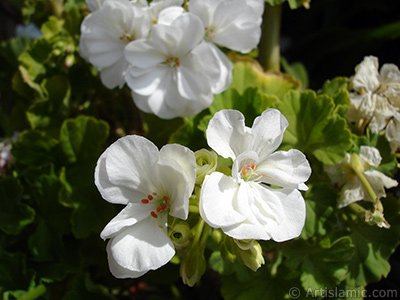 White color Pelargonia -Geranium- flower. <i>(Family: Geraniaceae, Species: Pelargonium)</i> <br>Photo Date: August 2006, Location: Turkey/Istanbul-Mother`s Flowers, By: Artislamic.com