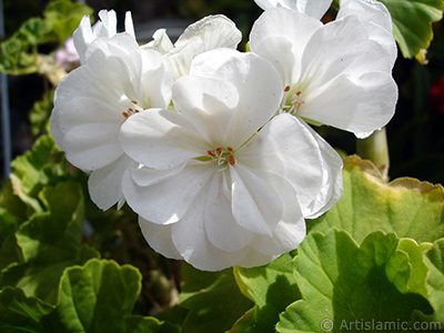 White color Pelargonia -Geranium- flower.