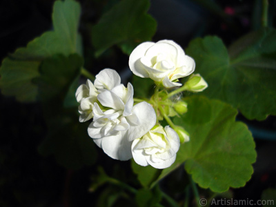 White color Pelargonia -Geranium- flower. <i>(Family: Geraniaceae, Species: Pelargonium)</i> <br>Photo Date: June 2006, Location: Turkey/Istanbul-Mother`s Flowers, By: Artislamic.com