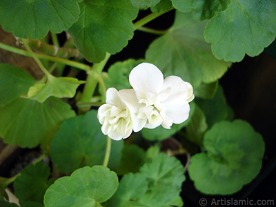 White color Pelargonia -Geranium- flower. <i>(Family: Geraniaceae, Species: Pelargonium)</i> <br>Photo Date: May 2006, Location: Turkey/Istanbul-Mother`s Flowers, By: Artislamic.com