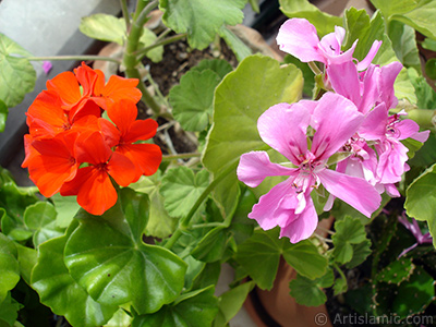 Pink and red color Pelargonia -Geranium- flower. <i>(Family: Geraniaceae, Species: Pelargonium)</i> <br>Photo Date: September 2005, Location: Turkey/Istanbul-Mother`s Flowers, By: Artislamic.com