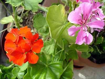 Pink and red color Pelargonia -Geranium- flower.