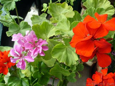 Pink and red color Pelargonia -Geranium- flower. <i>(Family: Geraniaceae, Species: Pelargonium)</i> <br>Photo Date: September 2005, Location: Turkey/Istanbul-Mother`s Flowers, By: Artislamic.com
