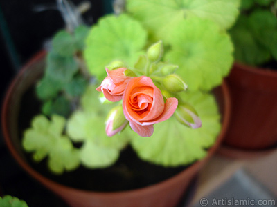 Newly coming out pink color Pelargonia -Geranium- flower.