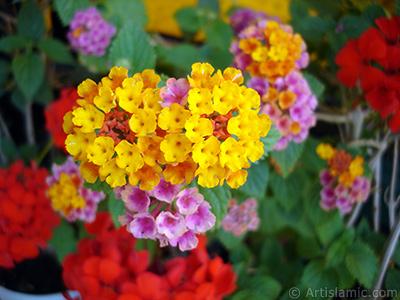 Ağaç minesi çiçeği resmi. <i>(Ailesi: Verbenaceae, Türü: Lantana camara)</i> <br>Çekim Tarihi: Haziran 2009, Yer: İstanbul-Annemin Çiçekleri, Fotoğraf: islamiSanat.net
