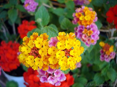 Lantana camara -bush lantana- flower. <i>(Family: Verbenaceae, Species: Lantana camara)</i> <br>Photo Date: June 2009, Location: Turkey/Istanbul-Mother`s Flowers, By: Artislamic.com