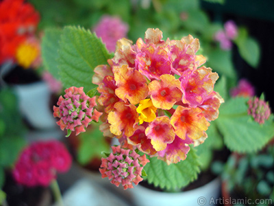Lantana camara -bush lantana- flower. <i>(Family: Verbenaceae, Species: Lantana camara)</i> <br>Photo Date: June 2009, Location: Turkey/Istanbul-Mother`s Flowers, By: Artislamic.com