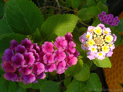Lantana camara -bush lantana- flower. <i>(Family: Verbenaceae, Species: Lantana camara)</i> <br>Photo Date: September 2006, Location: Turkey/Istanbul-Mother`s Flowers, By: Artislamic.com