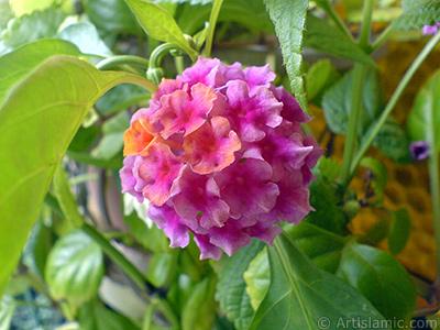 Lantana camara -bush lantana- flower. <i>(Family: Verbenaceae, Species: Lantana camara)</i> <br>Photo Date: September 2006, Location: Turkey/Istanbul-Mother`s Flowers, By: Artislamic.com