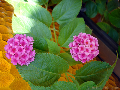 Lantana camara -bush lantana- flower. <i>(Family: Verbenaceae, Species: Lantana camara)</i> <br>Photo Date: August 2006, Location: Turkey/Istanbul-Mother`s Flowers, By: Artislamic.com
