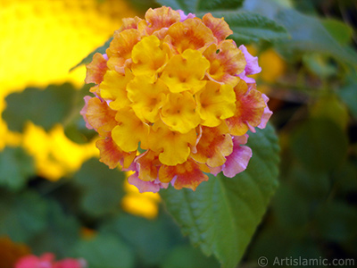 Lantana camara -bush lantana- flower. <i>(Family: Verbenaceae, Species: Lantana camara)</i> <br>Photo Date: August 2006, Location: Turkey/Istanbul-Mother`s Flowers, By: Artislamic.com