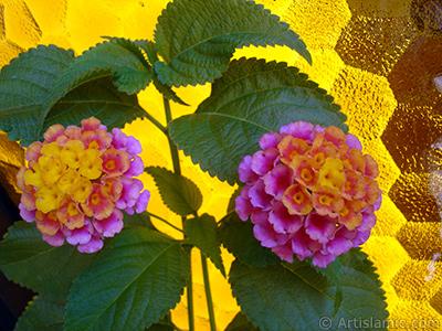 Ağaç minesi çiçeği resmi. <i>(Ailesi: Verbenaceae, Türü: Lantana camara)</i> <br>Çekim Tarihi: Ağustos 2006, Yer: İstanbul-Annemin Çiçekleri, Fotoğraf: islamiSanat.net