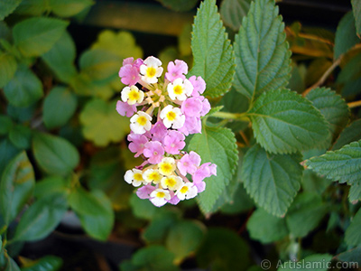 Lantana camara -bush lantana- flower. <i>(Family: Verbenaceae, Species: Lantana camara)</i> <br>Photo Date: July 2006, Location: Turkey/Istanbul-Mother`s Flowers, By: Artislamic.com