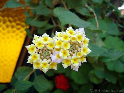 Ağaç minesi çiçeği resmi. <i>(Ailesi: Verbenaceae, Türü: Lantana camara)</i> <br>Çekim Tarihi: Temmuz 2006, Yer: İstanbul-Annemin Çiçekleri, Fotoğraf: islamiSanat.net