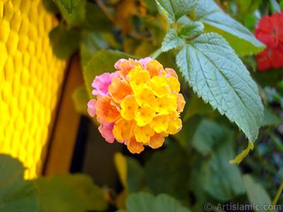 Lantana camara -bush lantana- flower. <i>(Family: Verbenaceae, Species: Lantana camara)</i> <br>Photo Date: July 2006, Location: Turkey/Istanbul-Mother`s Flowers, By: Artislamic.com