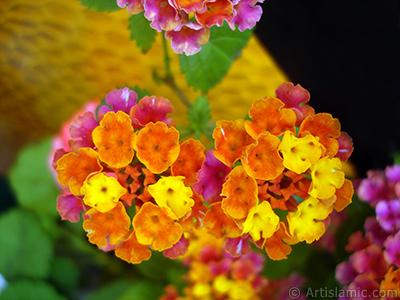 Ağaç minesi çiçeği resmi. <i>(Ailesi: Verbenaceae, Türü: Lantana camara)</i> <br>Çekim Tarihi: Haziran 2006, Yer: İstanbul-Annemin Çiçekleri, Fotoğraf: islamiSanat.net