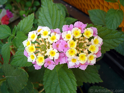 Lantana camara -bush lantana- flower. <i>(Family: Verbenaceae, Species: Lantana camara)</i> <br>Photo Date: June 2006, Location: Turkey/Istanbul-Mother`s Flowers, By: Artislamic.com