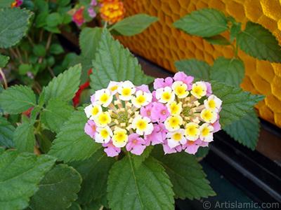 Lantana camara -bush lantana- flower. <i>(Family: Verbenaceae, Species: Lantana camara)</i> <br>Photo Date: June 2006, Location: Turkey/Istanbul-Mother`s Flowers, By: Artislamic.com