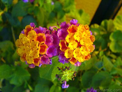 Lantana camara -bush lantana- flower. <i>(Family: Verbenaceae, Species: Lantana camara)</i> <br>Photo Date: September 2007, Location: Turkey/Istanbul-Mother`s Flowers, By: Artislamic.com