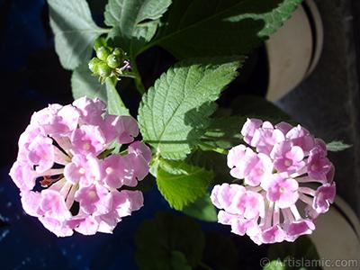 Lantana camara -bush lantana- flower. <i>(Family: Verbenaceae, Species: Lantana camara)</i> <br>Photo Date: July 2006, Location: Turkey/Istanbul, By: Artislamic.com