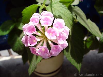 Ağaç minesi çiçeği resmi. <i>(Ailesi: Verbenaceae, Türü: Lantana camara)</i> <br>Çekim Tarihi: Temmuz 2006, Yer: İstanbul, Fotoğraf: islamiSanat.net