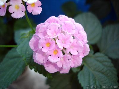 Lantana camara -bush lantana- flower. <i>(Family: Verbenaceae, Species: Lantana camara)</i> <br>Photo Date: June 2006, Location: Turkey/Istanbul, By: Artislamic.com