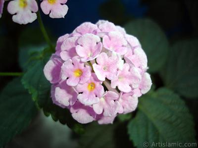 Ağaç minesi çiçeği resmi. <i>(Ailesi: Verbenaceae, Türü: Lantana camara)</i> <br>Çekim Tarihi: Haziran 2006, Yer: İstanbul, Fotoğraf: islamiSanat.net