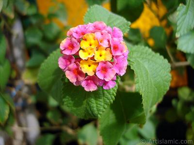 Lantana camara -bush lantana- flower. <i>(Family: Verbenaceae, Species: Lantana camara)</i> <br>Photo Date: September 2005, Location: Turkey/Istanbul-Mother`s Flowers, By: Artislamic.com