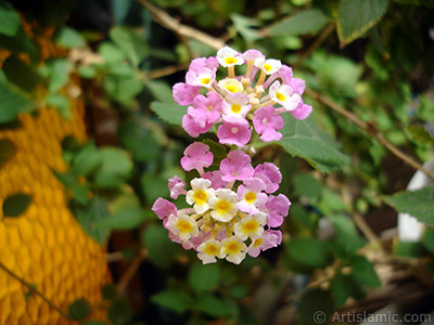 Lantana camara -bush lantana- flower. <i>(Family: Verbenaceae, Species: Lantana camara)</i> <br>Photo Date: September 2005, Location: Turkey/Istanbul-Mother`s Flowers, By: Artislamic.com