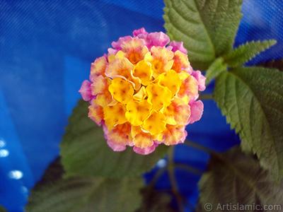 Lantana camara -bush lantana- flower. <i>(Family: Verbenaceae, Species: Lantana camara)</i> <br>Photo Date: August 2005, Location: Turkey/Istanbul, By: Artislamic.com