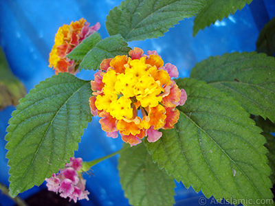 Ağaç minesi çiçeği resmi. <i>(Ailesi: Verbenaceae, Türü: Lantana camara)</i> <br>Çekim Tarihi: Haziran 2005, Yer: İstanbul, Fotoğraf: islamiSanat.net