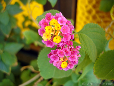 Ağaç minesi çiçeği resmi. <i>(Ailesi: Verbenaceae, Türü: Lantana camara)</i> <br>Çekim Tarihi: Eylül 2005, Yer: İstanbul-Annemin Çiçekleri, Fotoğraf: islamiSanat.net