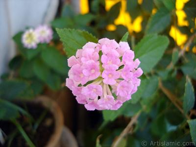 Ağaç minesi çiçeği resmi. <i>(Ailesi: Verbenaceae, Türü: Lantana camara)</i> <br>Çekim Tarihi: Ağustos 2005, Yer: İstanbul-Annemin Çiçekleri, Fotoğraf: islamiSanat.net
