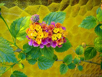 Lantana camara -bush lantana- flower. <i>(Family: Verbenaceae, Species: Lantana camara)</i> <br>Photo Date: June 2005, Location: Turkey/Istanbul-Mother`s Flowers, By: Artislamic.com