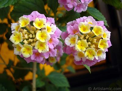 Lantana camara -bush lantana- flower. <i>(Family: Verbenaceae, Species: Lantana camara)</i> <br>Photo Date: May 2005, Location: Turkey/Istanbul-Mother`s Flowers, By: Artislamic.com
