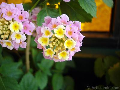 Ağaç minesi çiçeği resmi. <i>(Ailesi: Verbenaceae, Türü: Lantana camara)</i> <br>Çekim Tarihi: Mayıs 2005, Yer: İstanbul-Annemin Çiçekleri, Fotoğraf: islamiSanat.net