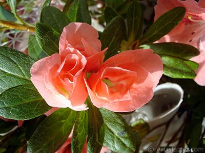 Pembe açelya çiçeği resmi. <i>(Ailesi: Ericaceae, Türü: Rhododendron, Azalea)</i> <br>Çekim Tarihi: Ocak 2011, Yer: İstanbul-Annemin Çiçekleri, Fotoğraf: islamiSanat.net