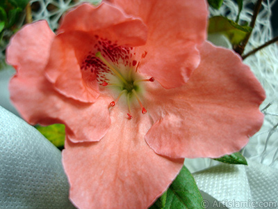 Pink color Azalea -Rhododendron- flower. <i>(Family: Ericaceae, Species: Rhododendron, Azalea)</i> <br>Photo Date: January 2011, Location: Turkey/Istanbul-Mother`s Flowers, By: Artislamic.com
