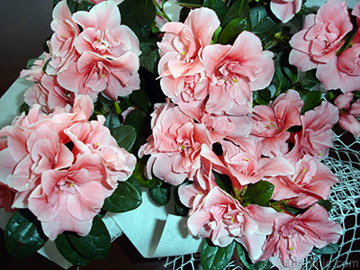Pembe açelya çiçeği resmi. <i>(Ailesi: Ericaceae, Türü: Rhododendron, Azalea)</i> <br>Çekim Tarihi: Nisan 2010, Yer: İstanbul-Annemin Çiçekleri, Fotoğraf: islamiSanat.net