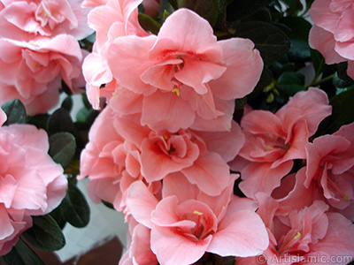 Pink color Azalea -Rhododendron- flower.