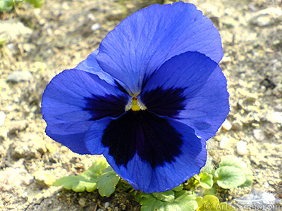 Dark blue color Viola Tricolor -Heartsease, Pansy, Multicoloured Violet, Johnny Jump Up- flower.