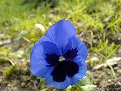 Dark blue color Viola Tricolor -Heartsease, Pansy, Multicoloured Violet, Johnny Jump Up- flower. <i>(Family: Violaceae, Species: Viola tricolor)</i> <br>Photo Date: February 2011, Location: Turkey/Yalova-Termal, By: Artislamic.com