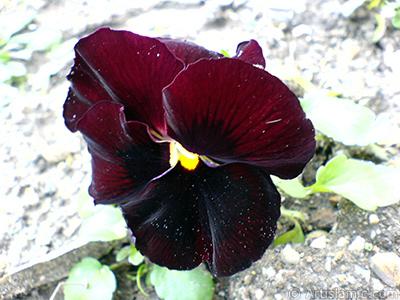 Kahverengi Hercai Menekşe çiçeği resmi. <i>(Ailesi: Violaceae, Türü: Viola tricolor)</i> <br>Çekim Tarihi: Şubat 2011, Yer: Yalova-Termal, Fotoğraf: islamiSanat.net